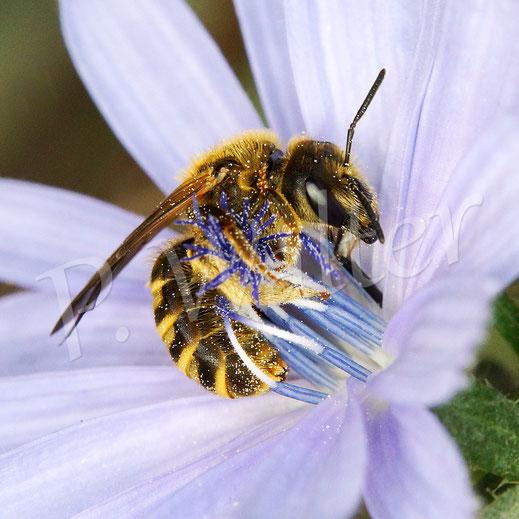 Bild: Weibchen, Gelbbindige Furchenbiene, Halictus scabiosae, trinkt Nektar an einer Wegwartenblüte