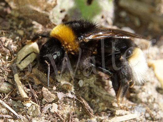 Bild: Erdhummelkönigin, die sich mit etlichen Milben herumschlagen muss