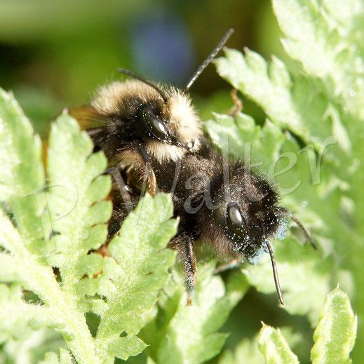 Bild: Pärchen der Gehörnten Mauerbiene, Osmia cornuta, blaue Pollen, Scilla