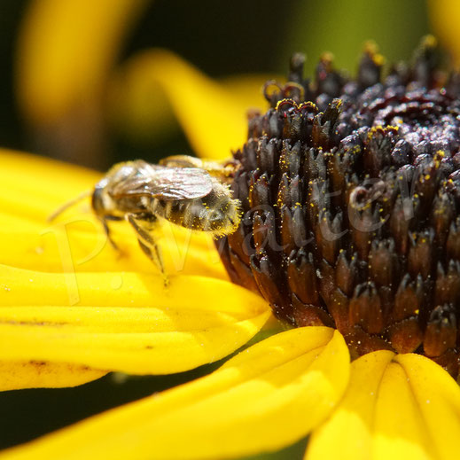 Bild: Furchenbiene, Halictus spec., Schmalbiene, Lasioglossum spec., Sonnenhut, Rudbeckia, Blüte