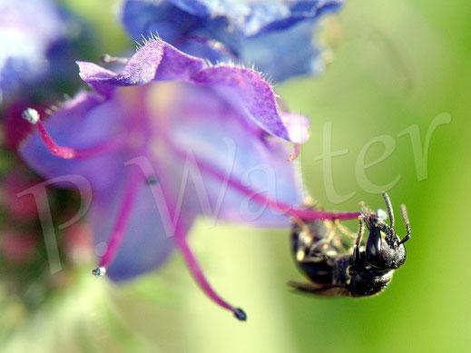 27.06.2018 : eine kleine Maskenbiene am Natternkopf