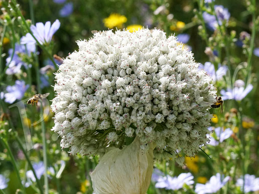 Bild: der blühende Porree/Lauch ist bei Wildbienen sehr begehrt