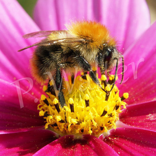 Bild: Hummel an der Cosmeenblüte