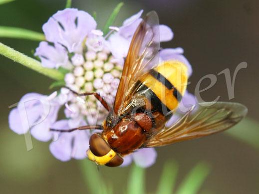 Bild: Hornissenschwebfliege, Volucella zonaria, auf einer Skabiosenblüte