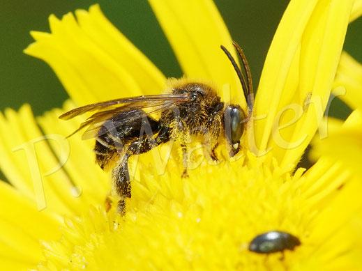 Bild: Waldschenkelbiene, Macropis fulvipes, Männchen am Ochsenauge