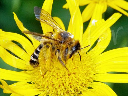 Bild: Braunbürstige Hosenbiene, Dasypoda hirtipes, Weidenblättriges Ochsenauge, Buphthalmum salicifolium, Nektar trinken
