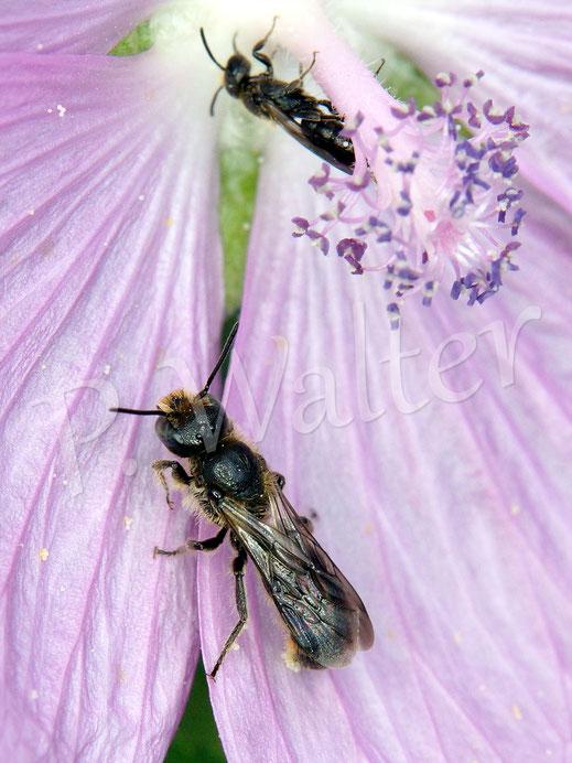 Bild: Glockenblumen-Scherenbiene, Osmia rapunculi, an einer Malvenblüte, im Hintergrund wahrscheinlich eine Maskenbiene