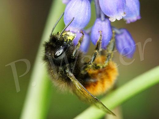 Bild: Gehörnte Mauerbiene, Osmia cornuta, Weibchen an der Traubenhyazinthe