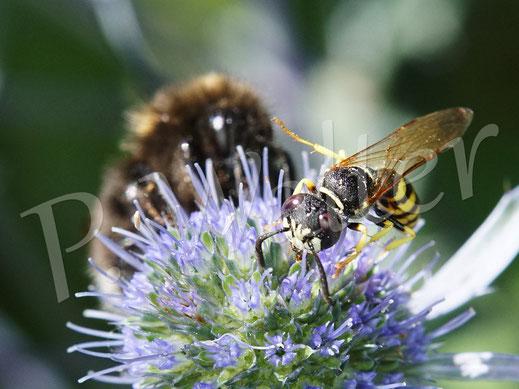 Bild: ein Männchen des Bienenwolfs, Philanthus triangulum, an der Kugeldistel