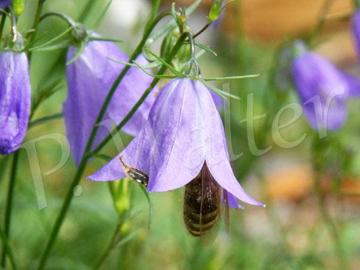 Bild: eine Honigbiene, Apis mellifera, an der Rundblättrigen Glockenblume