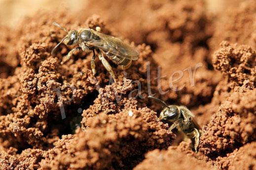 kleine Wildbienen in Kroatien, wahrscheinlich Furchenbienen