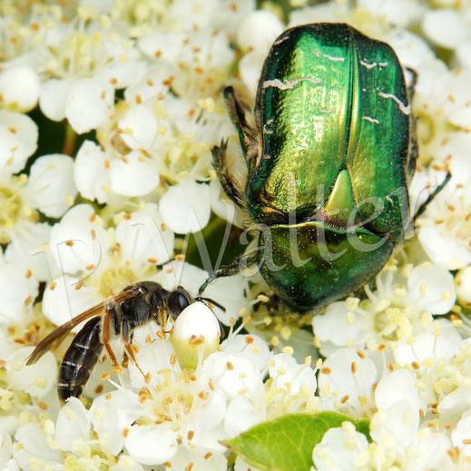 BIld: kleine Wildbiene und ein Rosenkäfer, Cetonia aurata, die Blüten des Feuerdorns