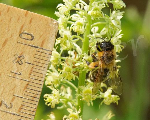 Bild: Erzfarbige Düstersandbiene, Andrena nigroaenea, Gelbe Resede