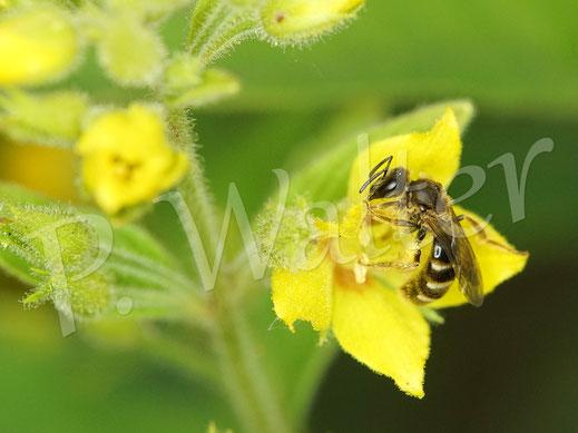 Bild: wohl ein Weibchen der Wald-Schenkelbiene, Macropis fulvipes, am Gildweiderich
