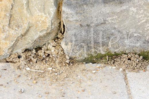 Bild : Nisthügel der Sandbienen, wahrscheinlich der Glänzenden Düstersandbiene