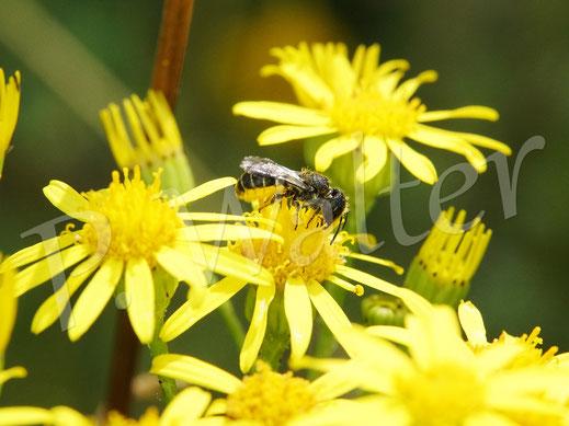 19.07.2020 : eine Löcherbiene, Osmia truncorum, sammelt Pollen am Jakobs-Kreuzkraut
