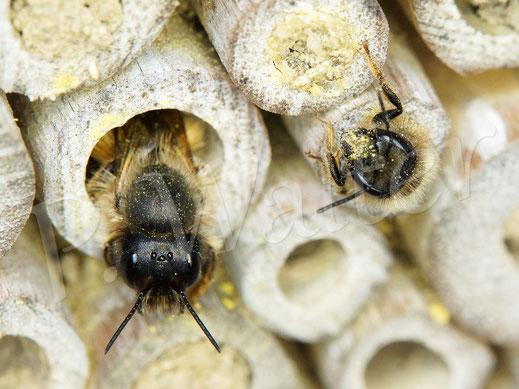 Bild: Rostrote Mauerbienen, Osmia bicornis, an den Bambusstengeln