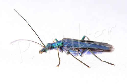 28.05.2016 : Blaugrüner Schenkelkäfer, Weibchen (das Männchen hat die dicken Schenkel ...)