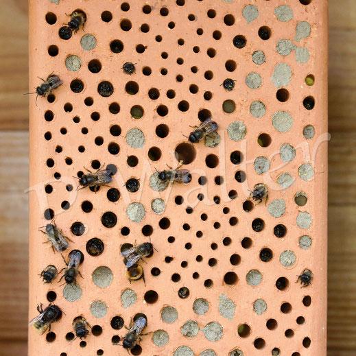 Bild: Nisthilfen, Wildbienen, Gehörnte Mauerbiene, Osmia cornuta, Niststein, Tonstein, Rostrote Mauerbiene, Osmia bicornis