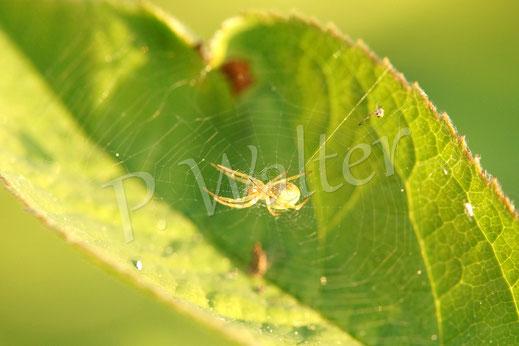 24.04.2014 : Spinnennetz im Rosenblatt