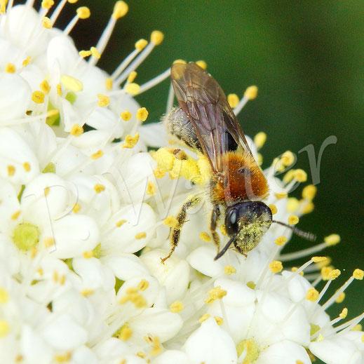 Bild: Rotbürstige Sandbiene, Andrena haemorrhoa, im Blütenmeer des Wolligen Schneeballs
