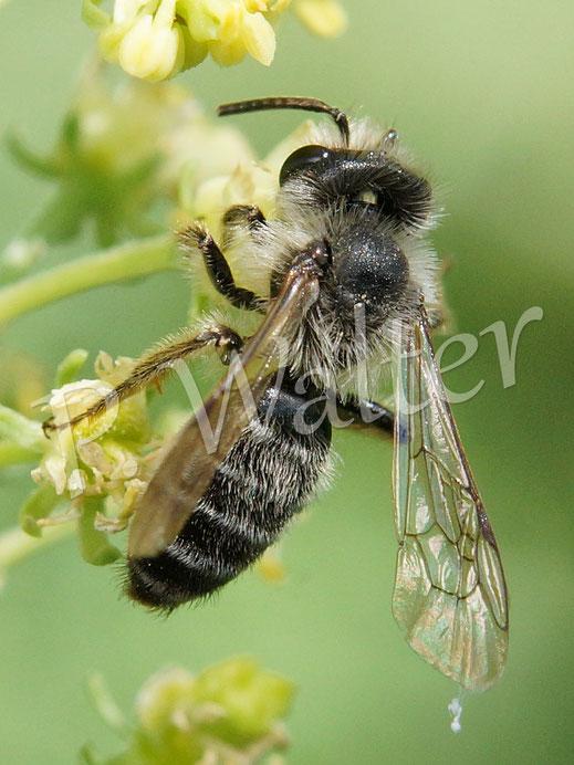 Bild: Wildbiene, Gelbe Resede; Reseda lutea
