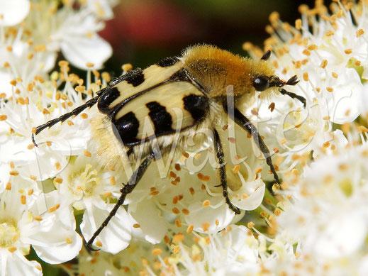 07.06.2015 : Pinselkäfer auf den Blüten des Feuerdorns