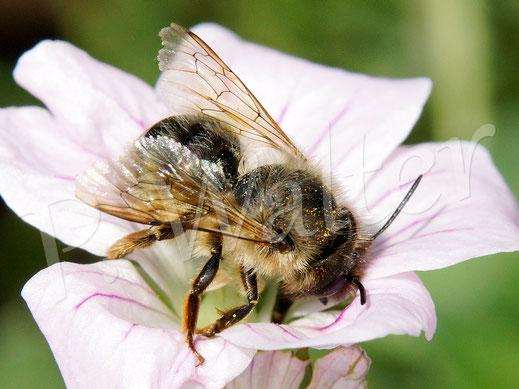 Bild: Wildbiene (Mauerbiene ?) an einer Blüte des Storchschnabels