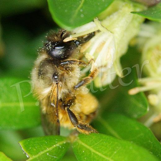 Bild: Rostrote Mauerbiene, Osmia bicornis, an den Blüten der Heckenmyrte