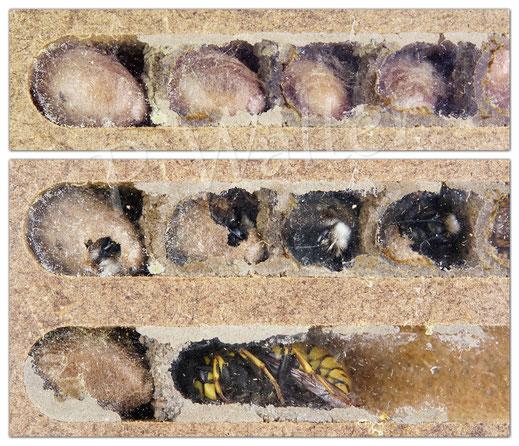Bild: Entwicklung _ Gehörnte Mauerbiene, Osmia cornuta - Nistkammer,  Kokon bis Schlupf