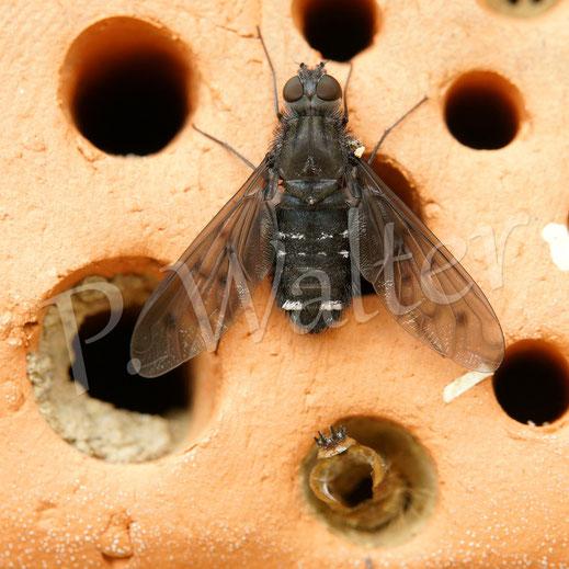 Bild: Trauerschweber, Anthrax anthrax, bei der Eiablage