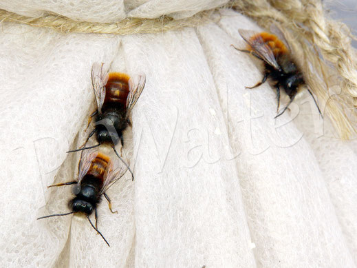 Bild: Männchen der Gehörnten Mauerbiene, Osmia cornuta, Regenversteck, Vliesfalte