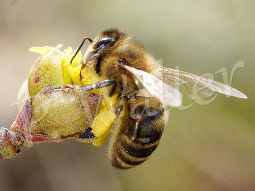 Bild: Honigbiene, Apis mellifera, an der Kornelkirsche, Cornus mas