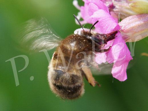 Bild: Frühlings-Pelzbiene, Anthophora plumipes, Weibchen an der Pechnelke
