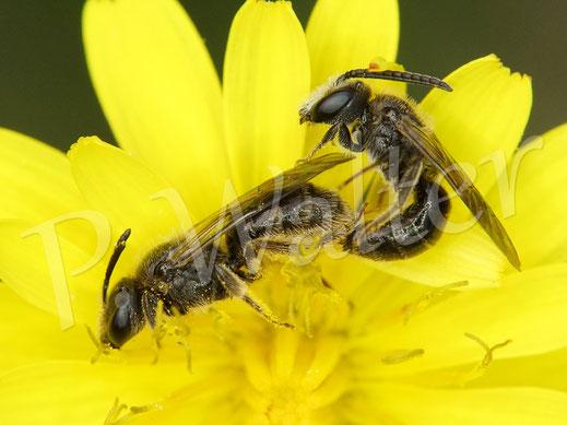 Bild: Paarung bei kleinen Furchenbienen / Schmalbienen am Herbstlöwenzahn