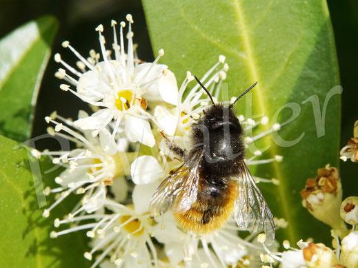 Bild: Gehörnte Mauerbiene, Osmia, cornuta, Weibchen, trinkt Nektar der Kirschlorbeerblüten