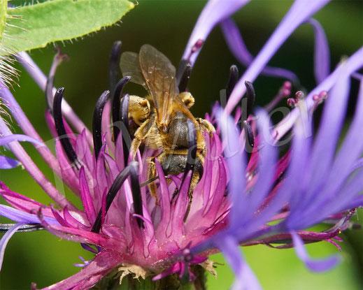 Bild: Gelbbindige Furchenbiene, Halictus scabiosae, auf einer Berg-Flockenblume