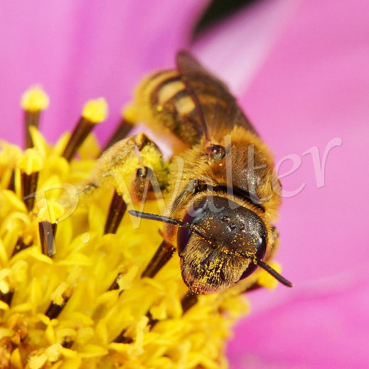 Bild: Gelbbindige Furchenbiene, Halictus scabiosae, Weibchen, an einer Cosmeenblüte