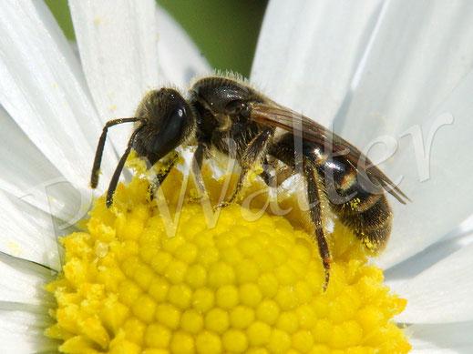 Bild: eine kleine Furchenbiene am Gänseblümchen