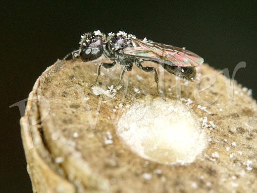 Bild: hier eine Nahaufnahme dieser kleiner Grabwespe, von den markhaltigen Stengeln ist der Bauernjasmin am besten angenommen worden