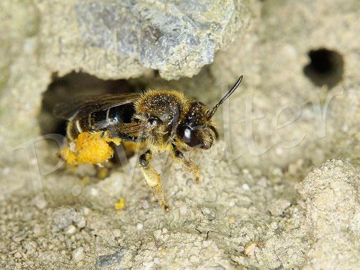 Bild: Weibchen der Wald-Schenkelbiene, Macropis fulvipes, am Nistloch