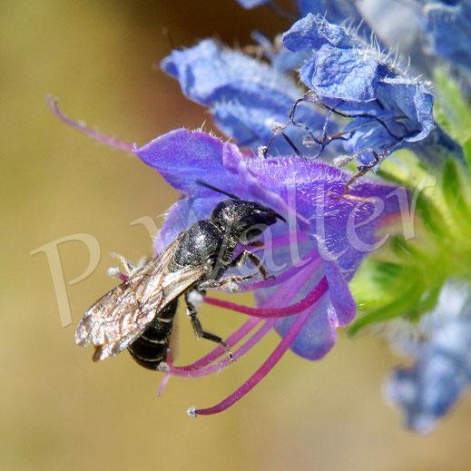 Bild: wohl ein Weibchen der Natternkopf-Mauerbiene, Osmia adunca ?