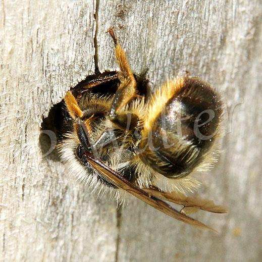 02.06.2019 : eine Mauerbiene beim Verschließen des Nistgangs im Bohrloch