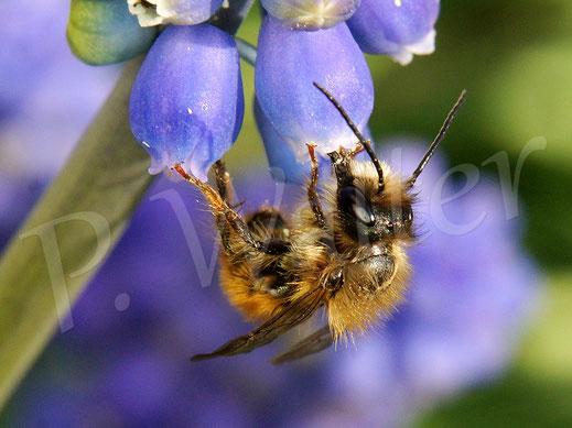 Bild: Männchen der Rostroten Mauerbiene, Osmia bicornis, an einer Traubenhyazinthe