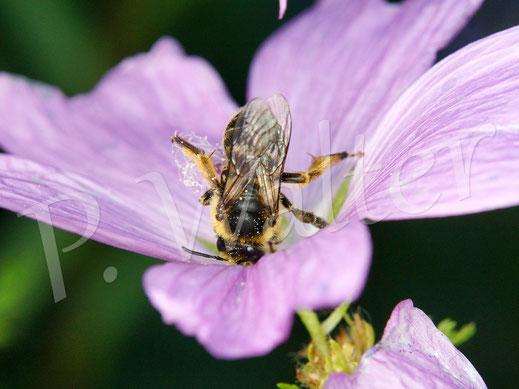 Bild: Waldschenkelbiene, Macropis fulvipes, an einer Storchschnabelblüte