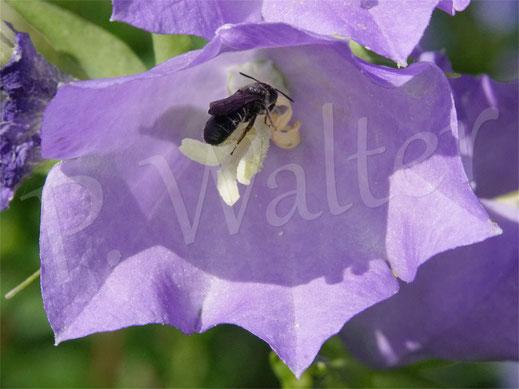 Bild: Glockenblumen-Scherenbiene, Osmia, bzw. Chelostoma rapunculi, Weibchen in der  Blüte der Pfirsichblättrigen Glockenblume