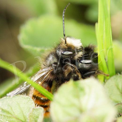 Bild: Paarung der Gehörnten Mauerbiene, Osmia cornuta
