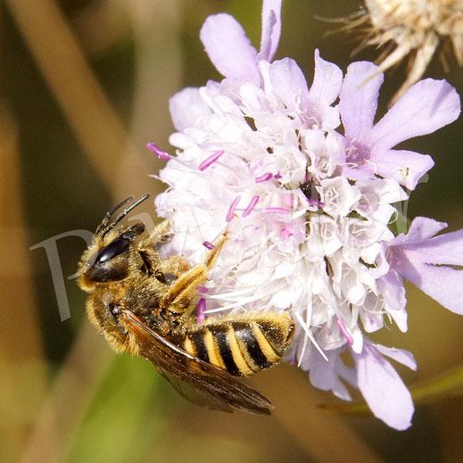 Bild: Gelbbindige Furchenbiene, Halictus skabiosae, an einer Skabiose, Weibchen