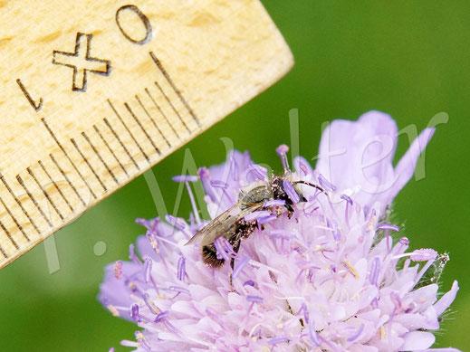 Bild: Männchen einer kleinen Mauerbienenart auf der Acker-Witwenblume