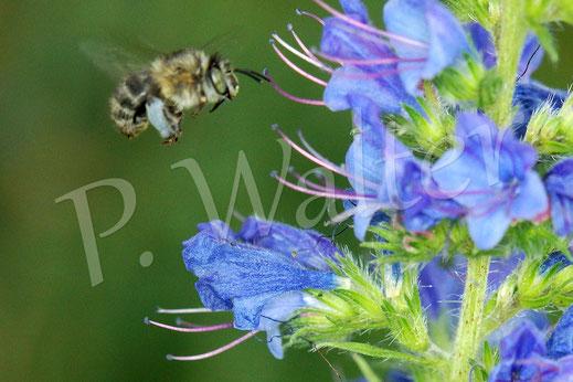 Bild : eine Pelzbiene, Anthophora spec., im Anflug zum Natternkopf